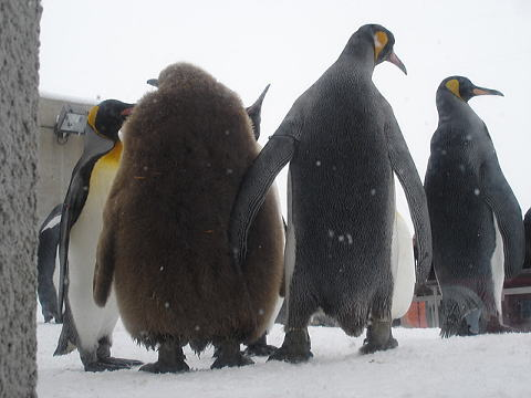ペンギンの画像 p1_9